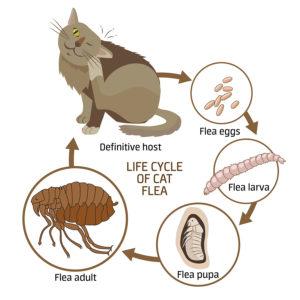 life cycle of a cat flea